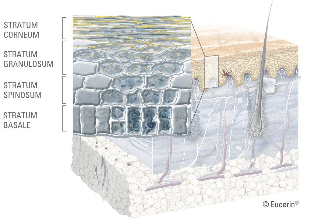 Eucerin: Über Haut | Struktur und Funktion der Haut: Eine Einführung